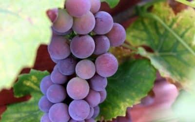 La cure de raisin, un vrai gain de vitalité !